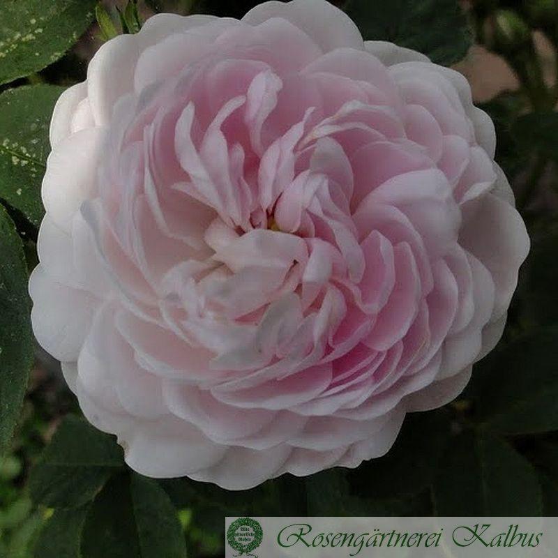 Historische Rose Pompon Blanc Parfait