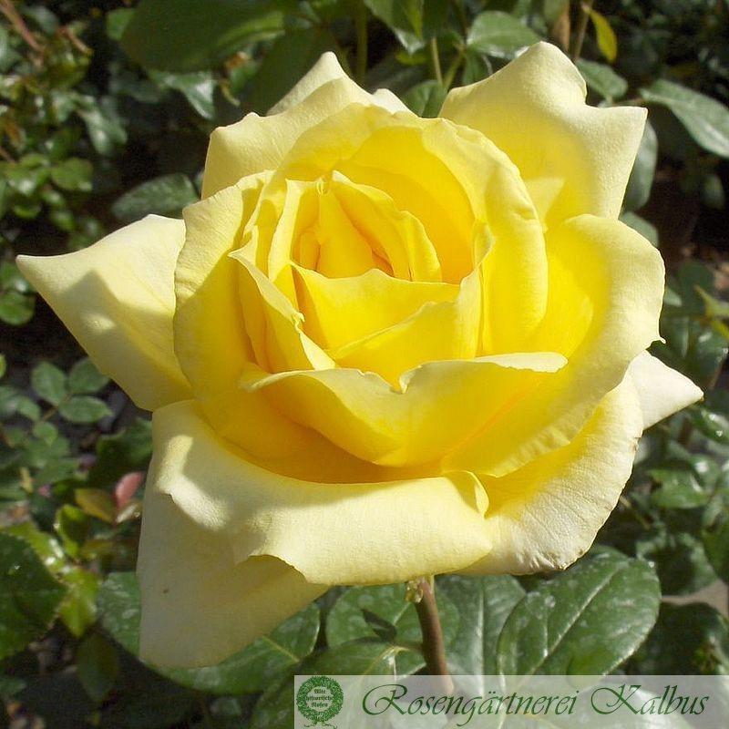 Moderne Rose Landora®