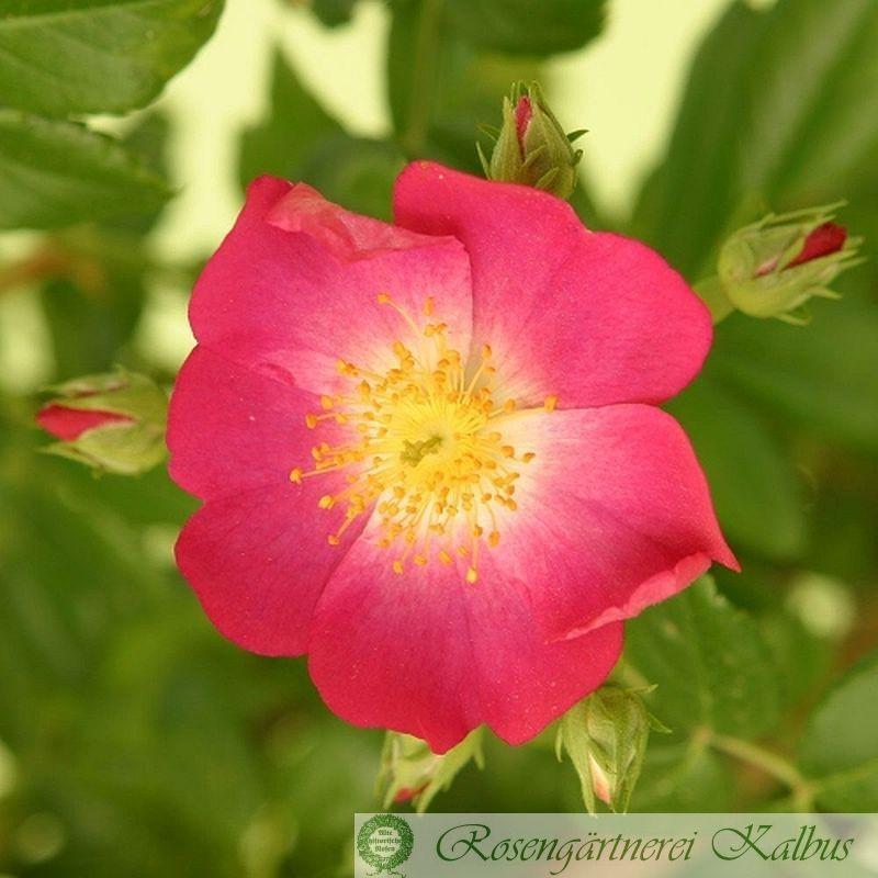 Ramblerrose Rosenreigen