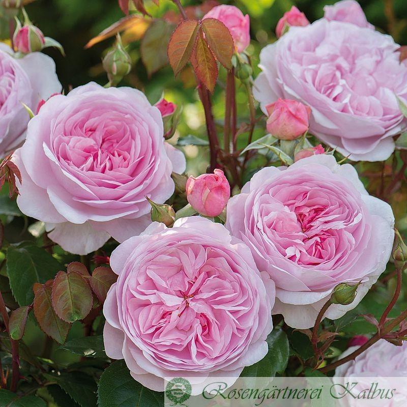 Englische Rose Olivia Rose®