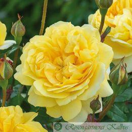 Besondere Rose The Poet's Wife®