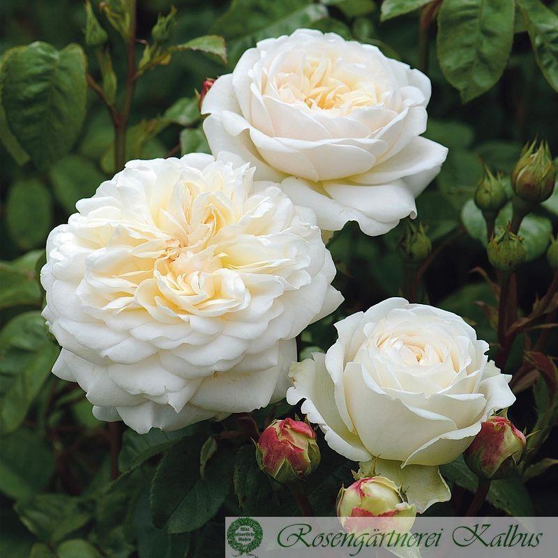 Englische Rose Tranquillity®