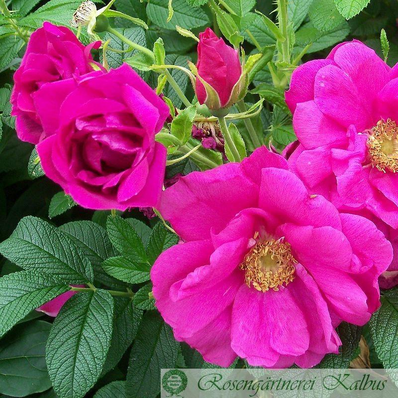 Historische Rose Rotes Meer®
