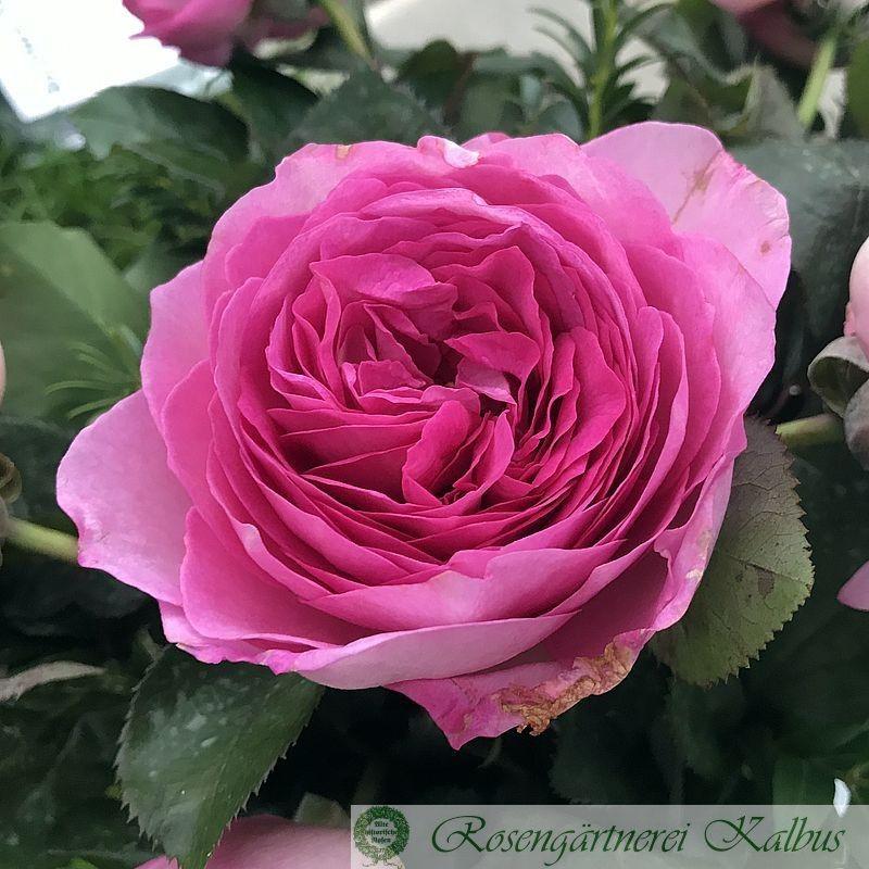 Moderne Rose Manuela Schultheis