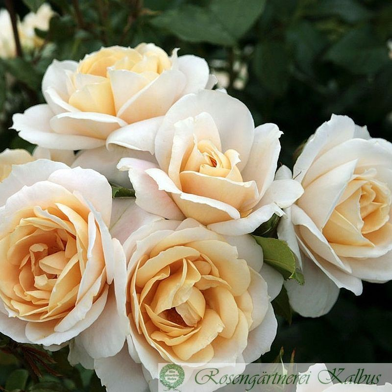 Rosenhochstamm Lions Rose®