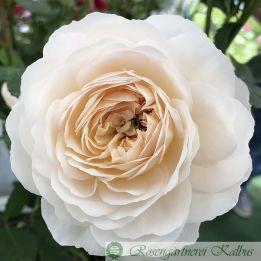 Emanuel syn. Crocus Rose