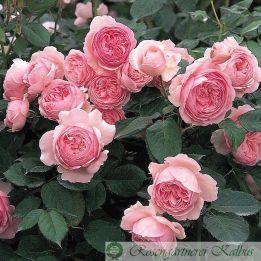 Besondere Rose Geoff Hamilton®