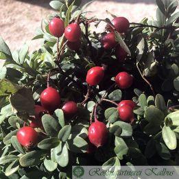 Wildrose Glauca