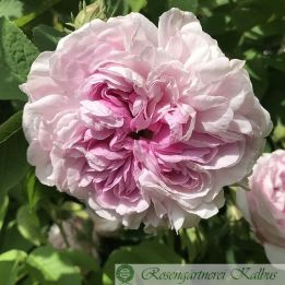 Historische Rose Gloire de France