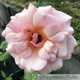 Historische Rose Gruß an Coburg
