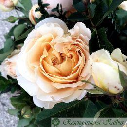 Besondere Rose Dany Hahn®