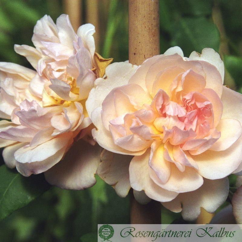 Kletterrose Desprez à Fleurs Jaunes