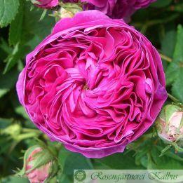Historische Rose Duc de Cambridge