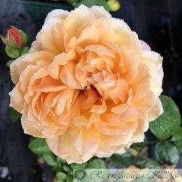 Moderne Rose Capri®