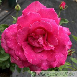Moderne Rose Caprice de Meilland®