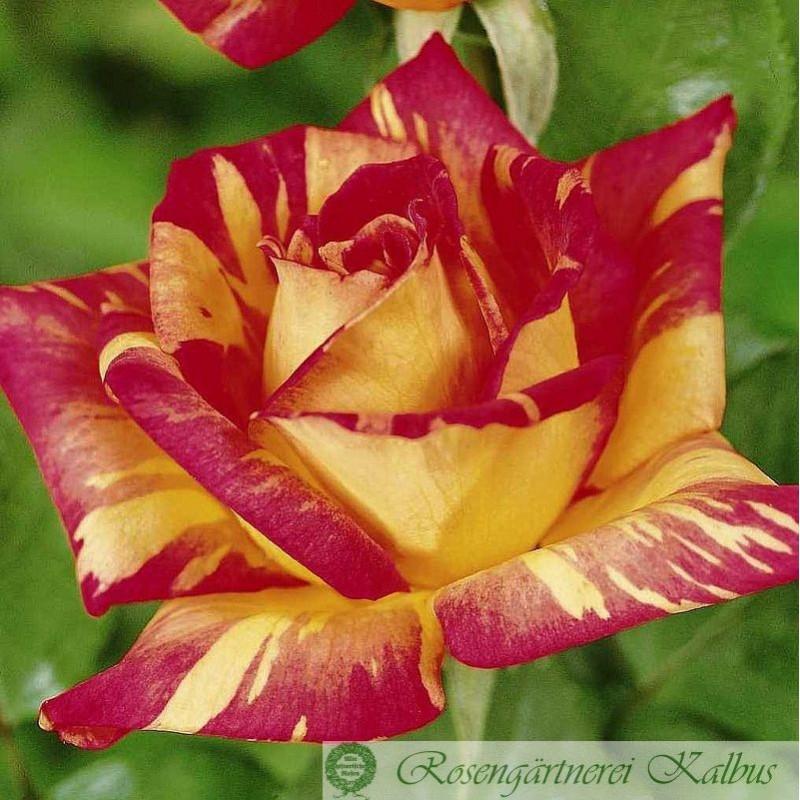 Moderne Rose Caribia