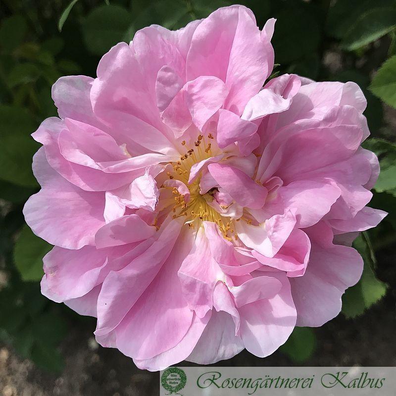Historische Rose Celsiana