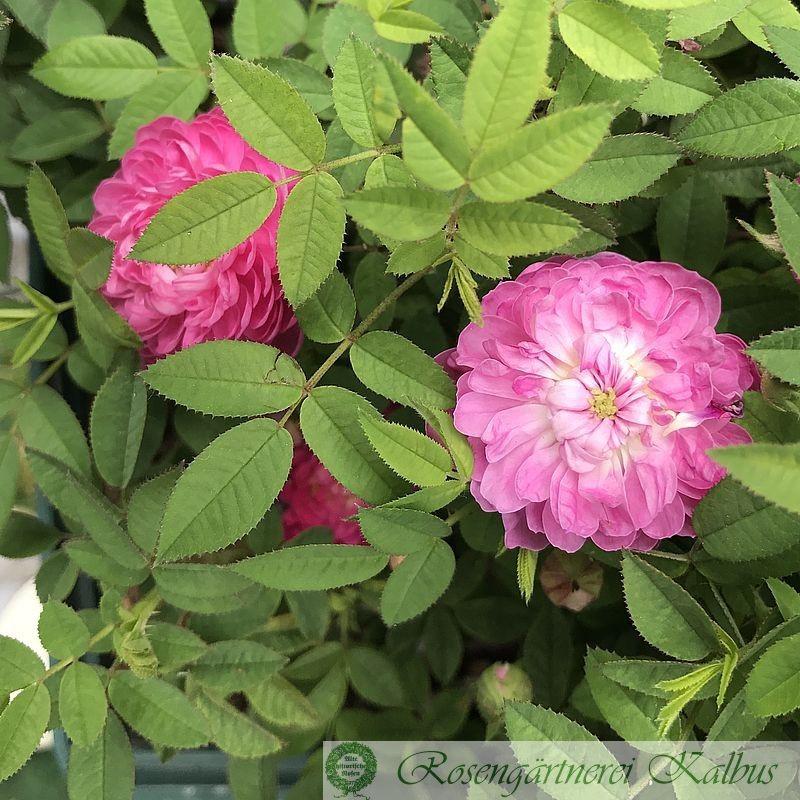 Centifolia minor