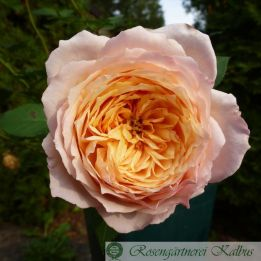 Generosa Rose Charles Nervaux®