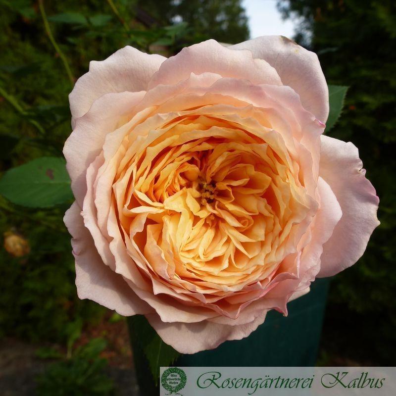 Besondere Rose Charles Nervaux®