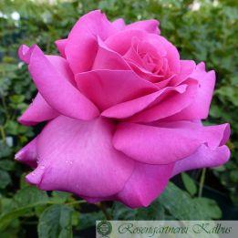 Besondere Rose Chartreuse de Parme®