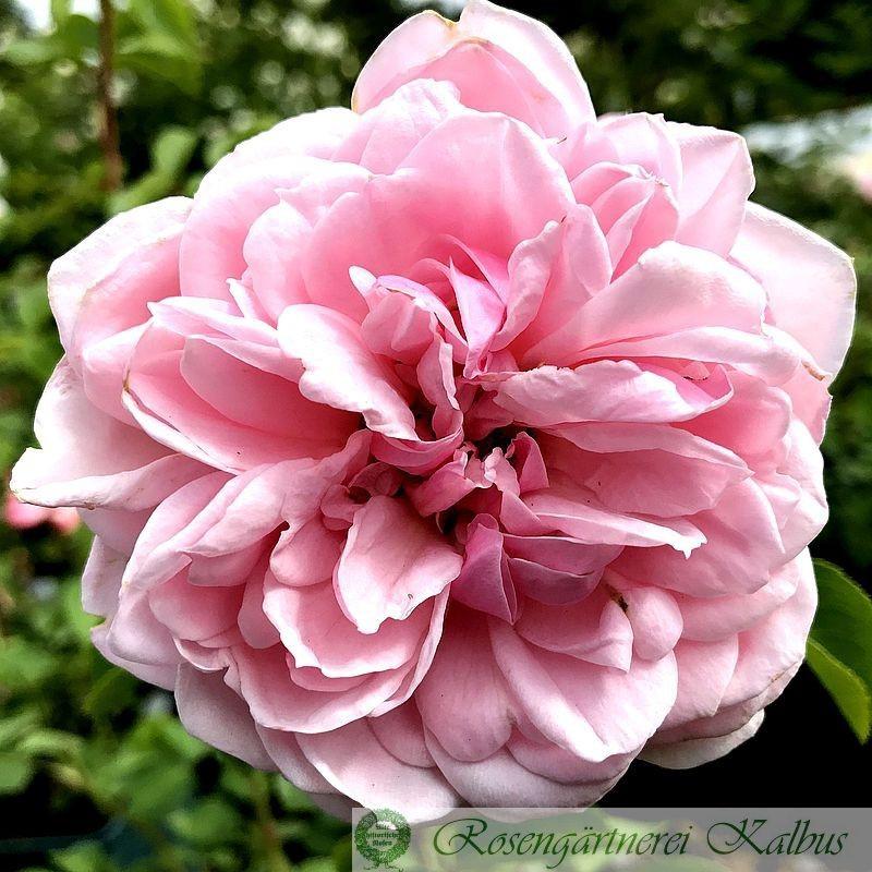 Moderne Rose Cinderella®