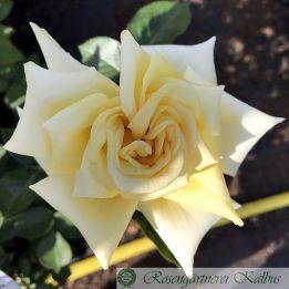 Moderne Rose Citrina
