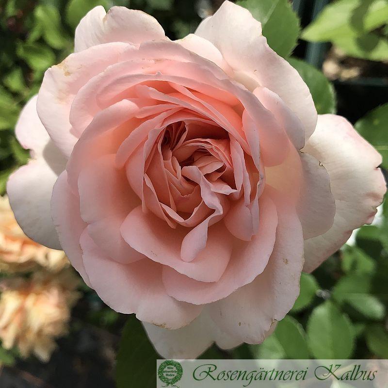 Moderne Rose Clair Renaissance®