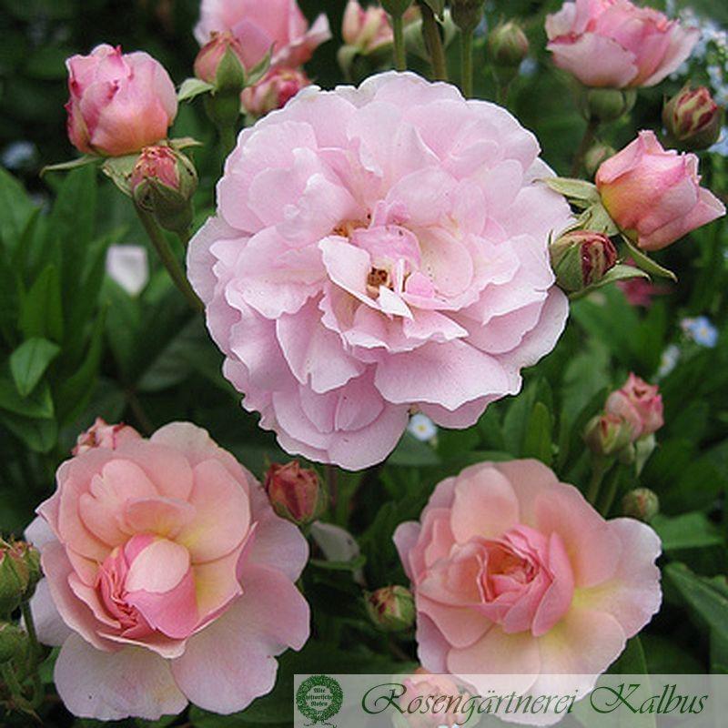 Historische Rose Cornelia