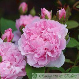 Cottage Rose