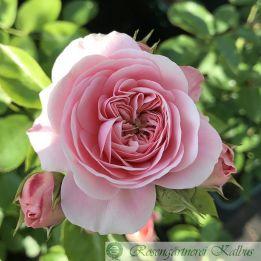 Moderne Rose Bailando®