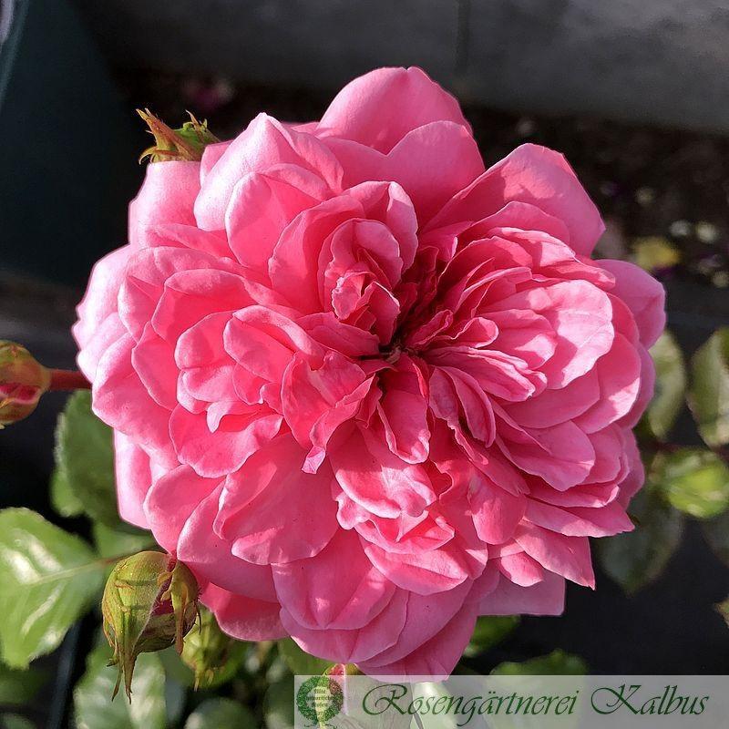 Moderne Rose Baronesse®