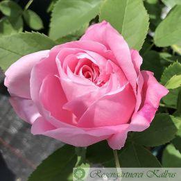 Historische Rose Baroness Rothschild