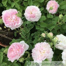 Historische Rose Belle Isis