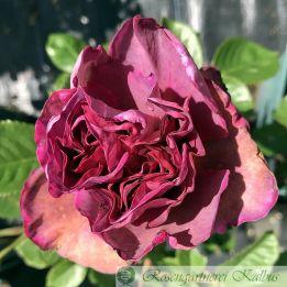 Moderne Rose Blauwestad Rose