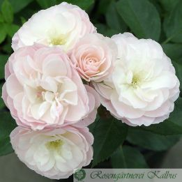 Historische Rose Bouquet Parfait