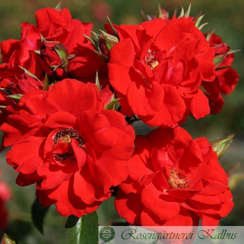 Moderne Rose Brillant Korsar®