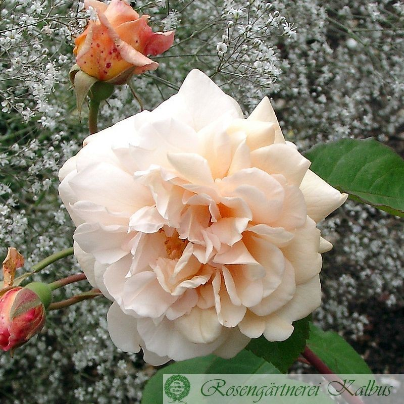 Historische Rose Buff Beauty