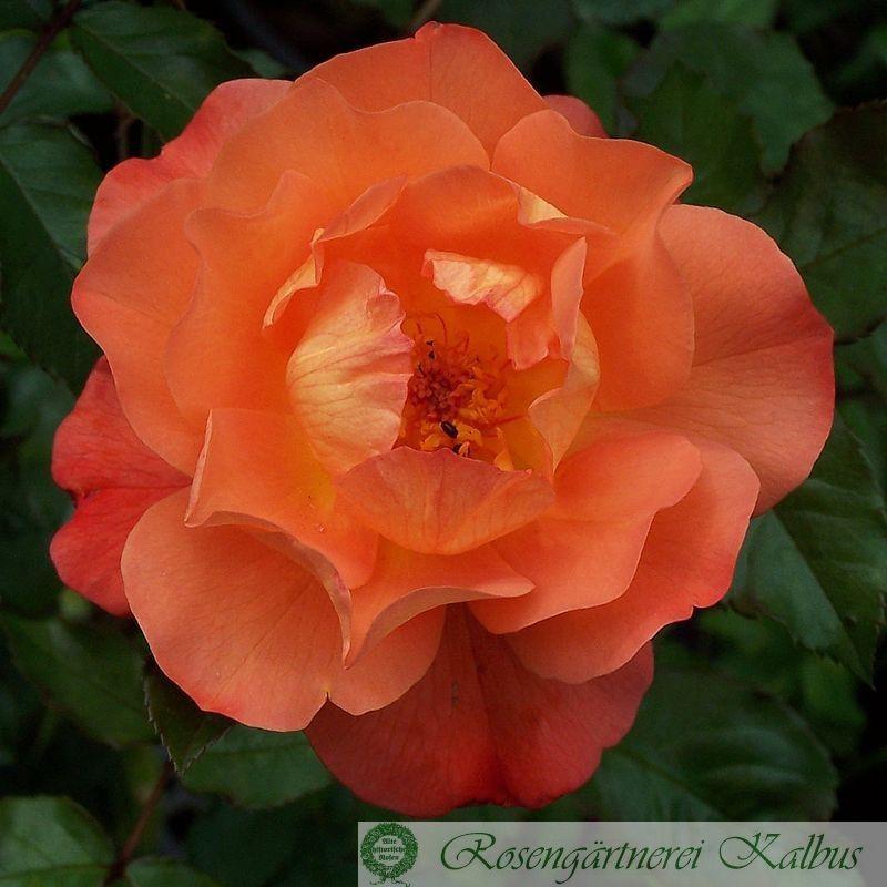 Besondere Rose Heilika