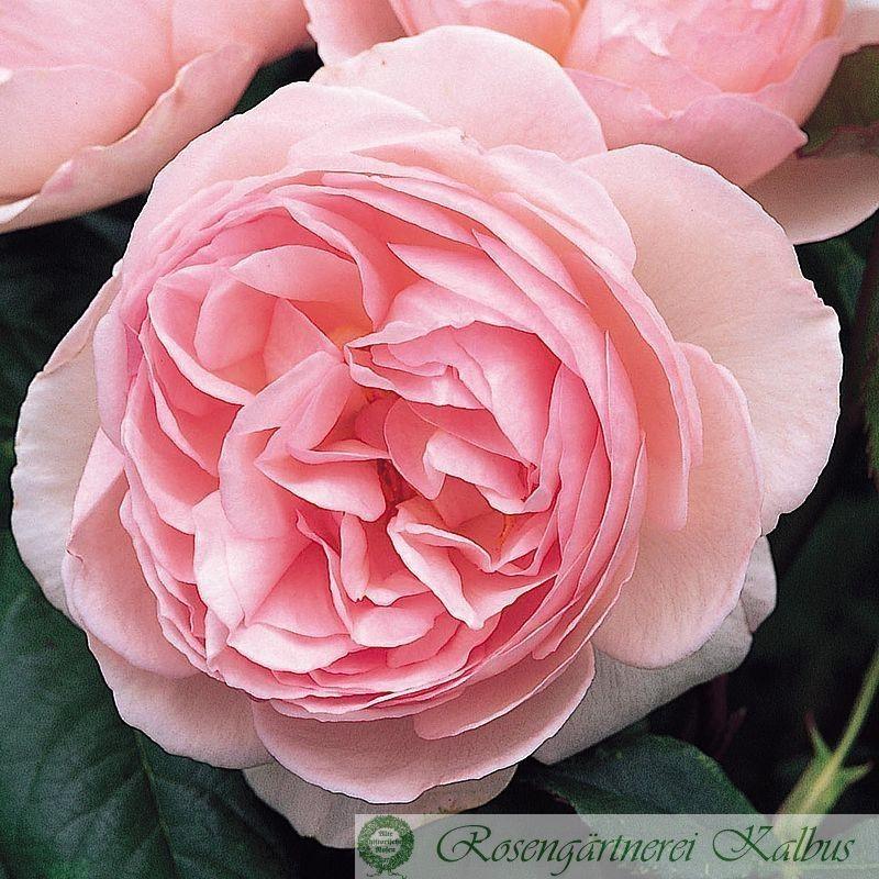 Besondere Rose Heritage®