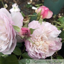 Moderne Rose Herkules®