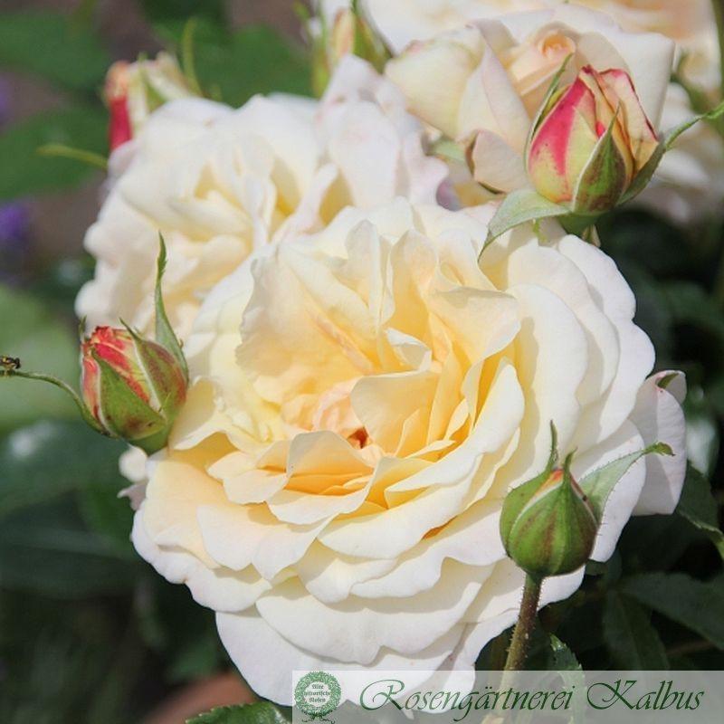 Moderne Rose Hermann Hesse®