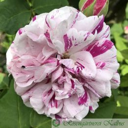 Historische Rose Variegata de Bologna