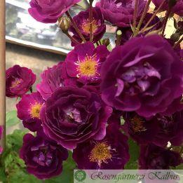 Kletterrose Violette