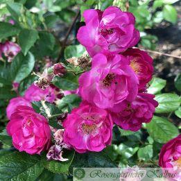 Historische Rose Verdi