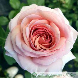 Moderne Rose Arioso®