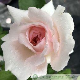 Moderne Rose Andre le Notre®