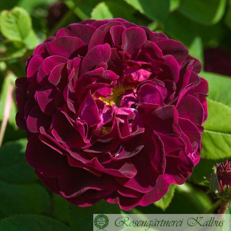 Historische Rose Tuscany Superb