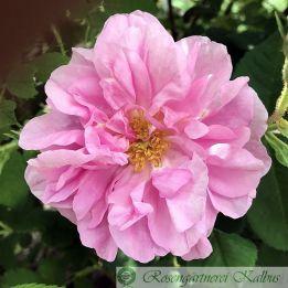 Historische Rose Trigintipetala
