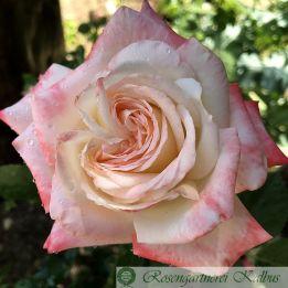 Besondere Rose Imperatrice Farah®